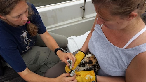 Alison Heittman and Libby Mojica, banding an osprey