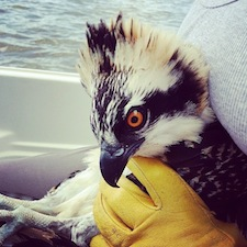 An osprey about to be banded